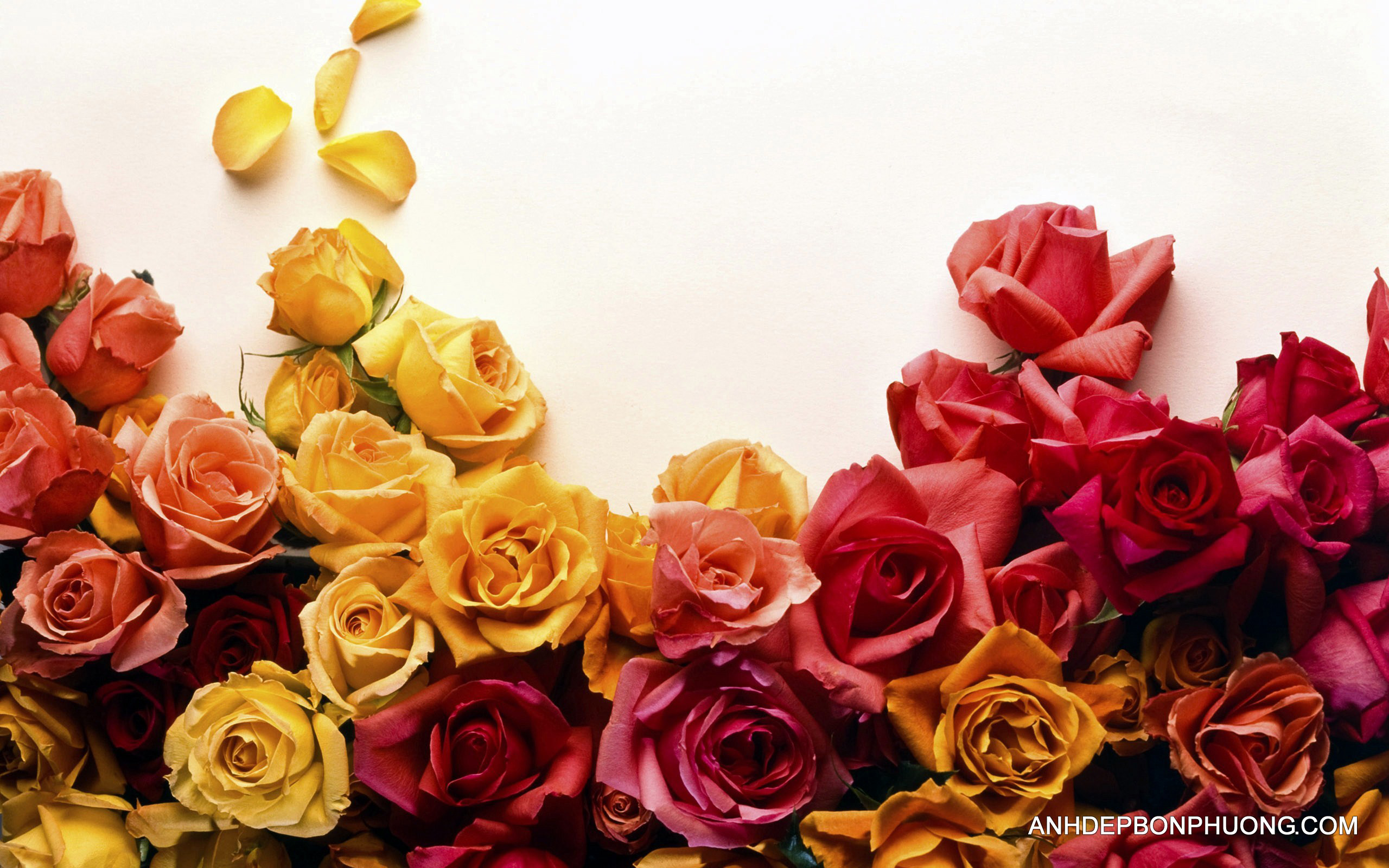 tai-ve-hinh-anh-hoa-hong-colors-of-roses-wide